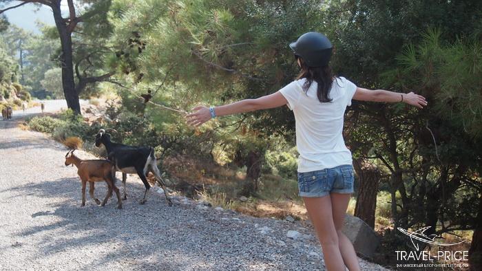 Горные козлы в Турции