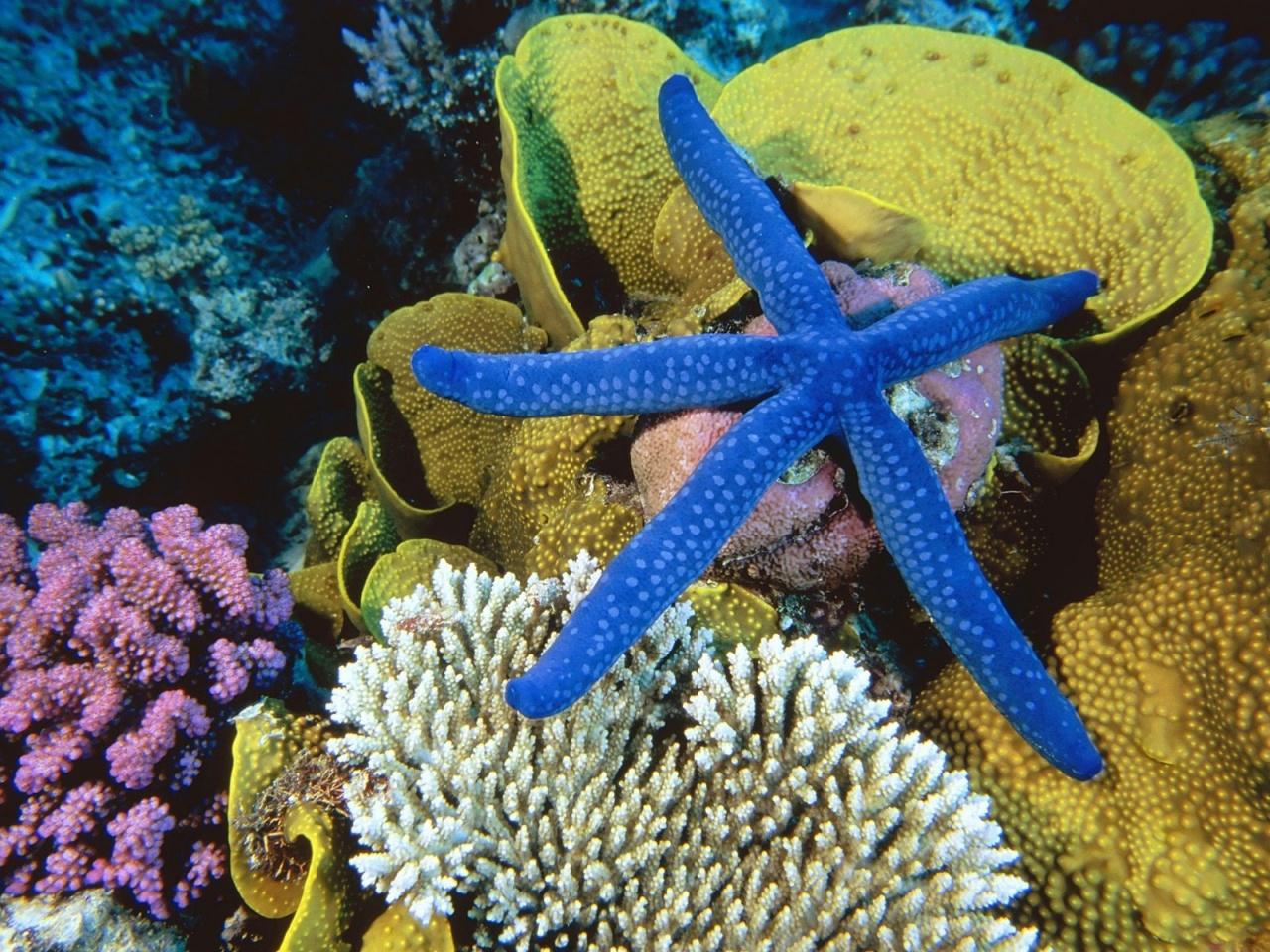 подводные съемки, ультрамиарин, синяя морская звезда на фоне кораллов.