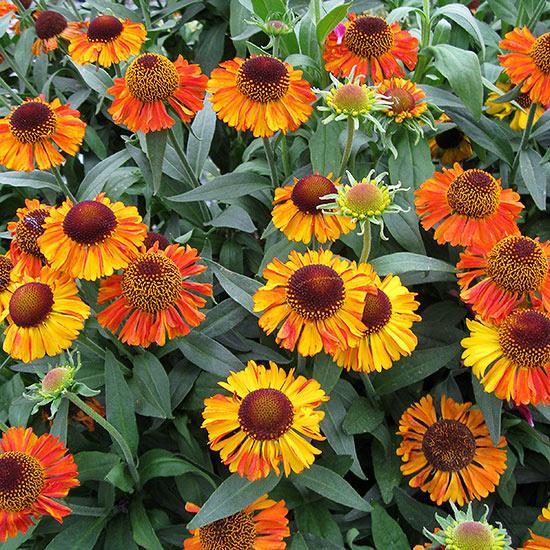 Многолетние цветы, переносящие жару-Гелениум