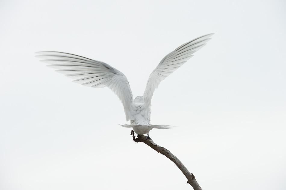white sentinel