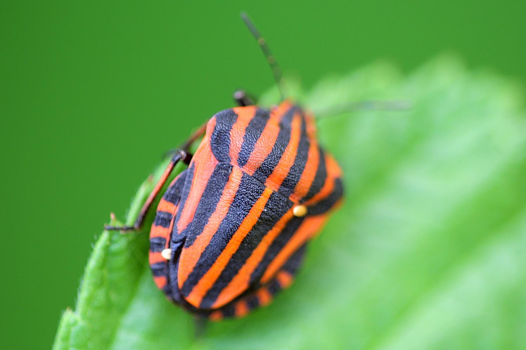 Полосатый жук картинки
