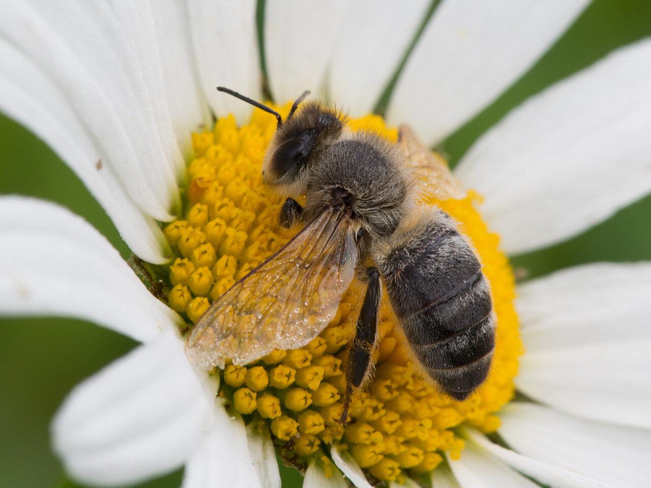Пчела медоносная (Apis mellifera). Автор фото: Владимир Брюхов
