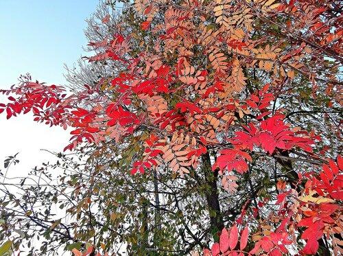 Красиво раскрасила осень листья рябины
