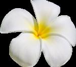 ldw_UnderPalmTree_flower-white5.png