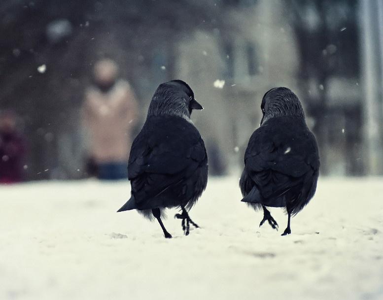вороны гуляют по снегу