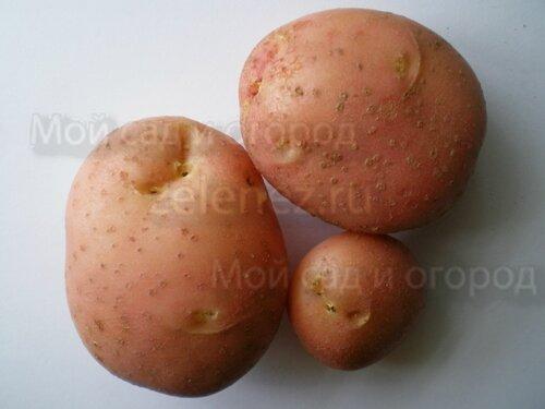Картофельные сорта оздоравливаем, проверяем, пробуем