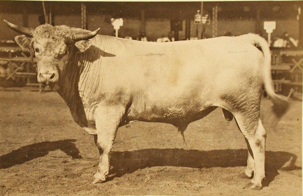 42. Племенной бык завода Бродского (Екатеринославской губ.), экспонирующийся на выставке