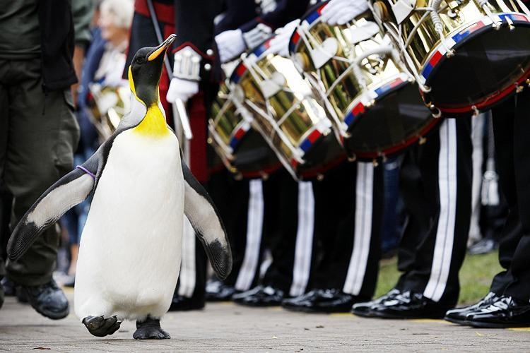 пингвин идет мимо оркестра барабанная дробь