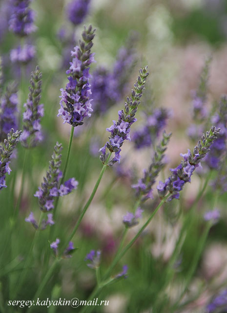 Lavandula intermedia Heavenly Scent (1).JPG