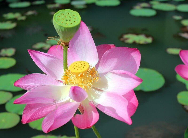 Цветок  лотоса - символ чистоты