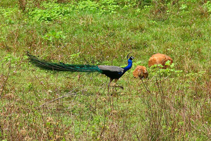 павлин. Шри Ланка