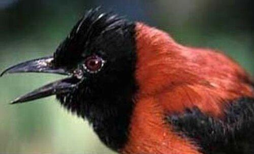 Самая ядовитая... птица на Земле- хохлатый питохуй