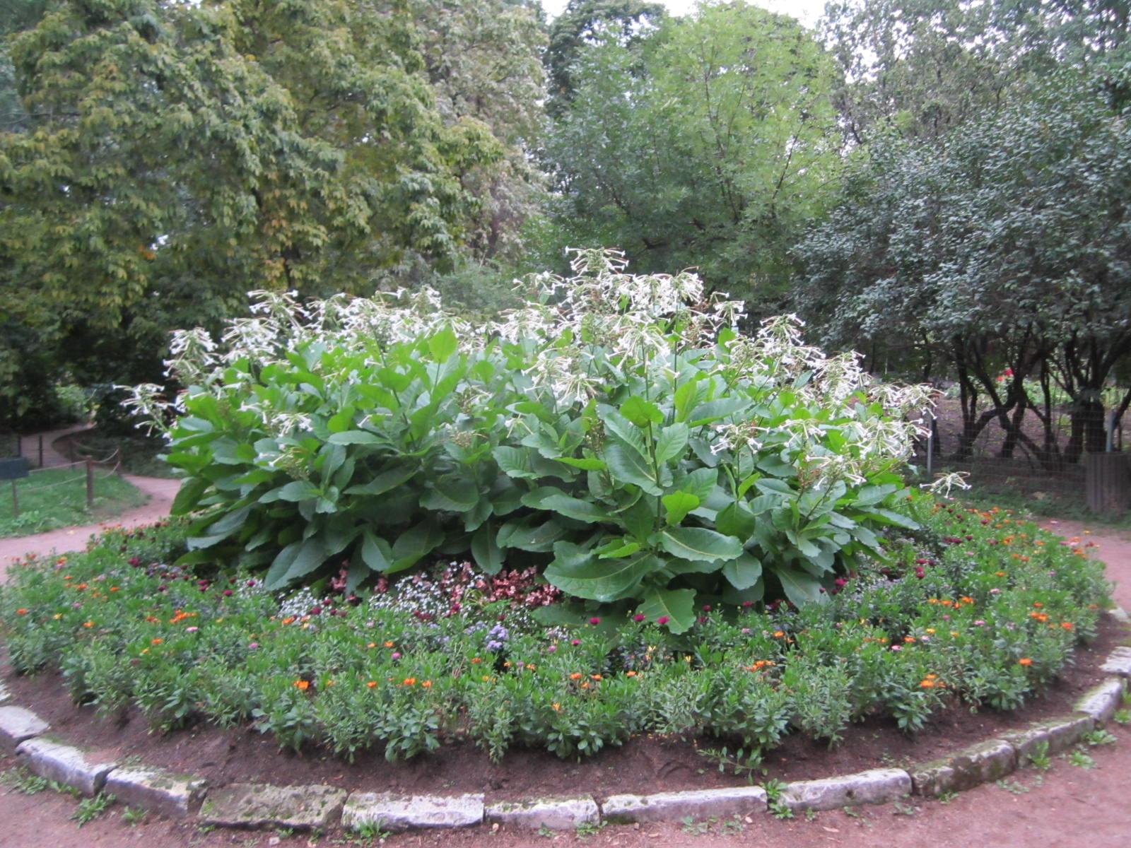 Хоста цветок на клумбе