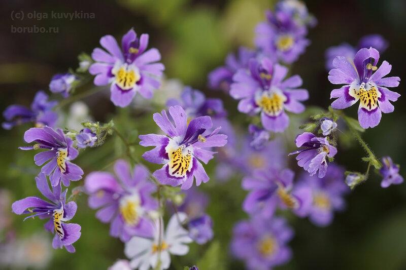 Схизантус (Schizanthus), семейство Пасленовые, вырастила из семян