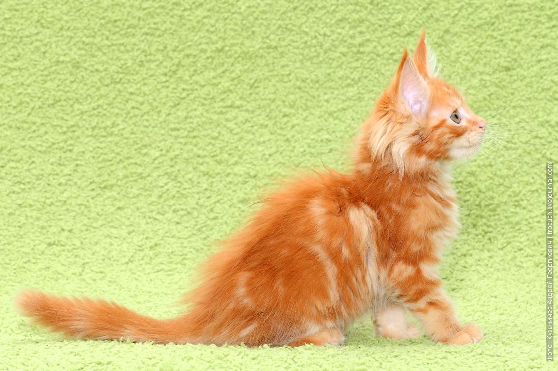 в Москве купить котенка мейн кун