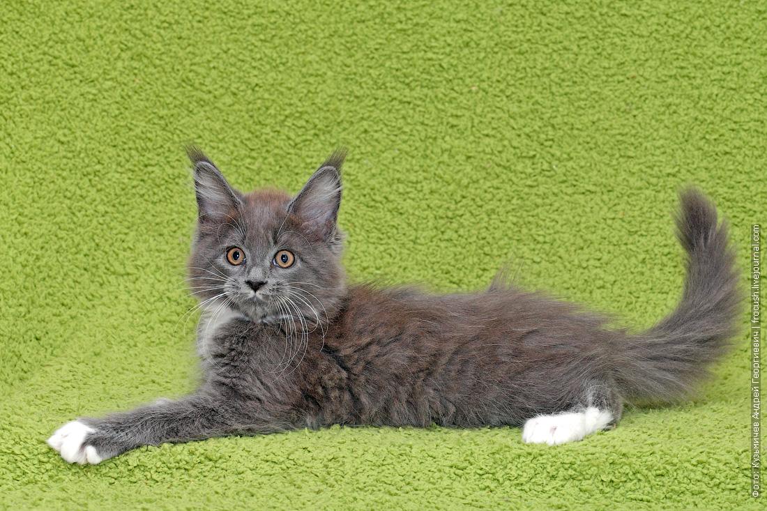 котята мейн кун продажа в москве