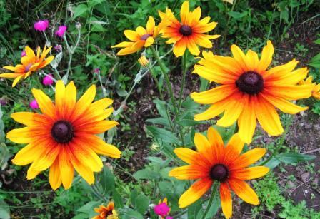 Многолетние цветы, переносящие жару-Пиретрум