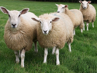 домашнее овцеводство