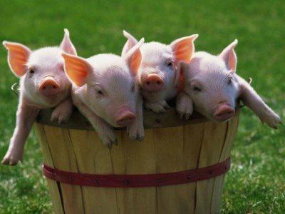 лечение болезней свиней
