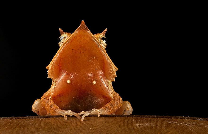 Eyelash frog, Ceratobatrachus guentheri