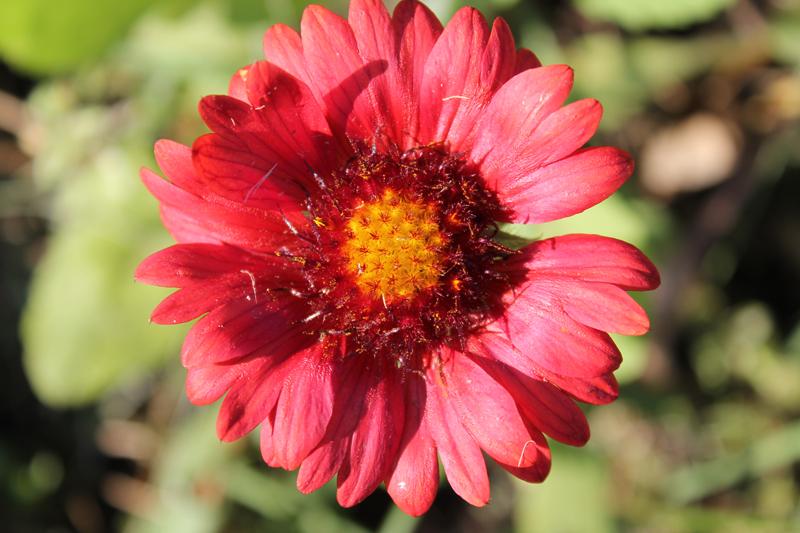 Какие цветы можно посадить под зиму - 24 многолетника-Гайлардия