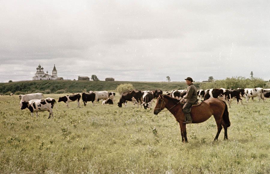 Холмогорские коровы 6 900.jpg