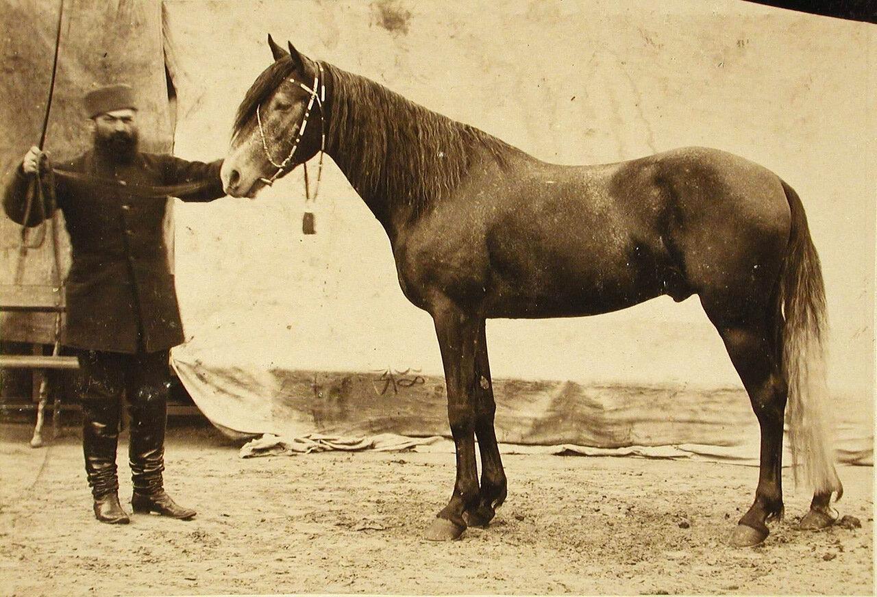 31. Жеребец конного завода Бузни, экспонирующийся на выставке