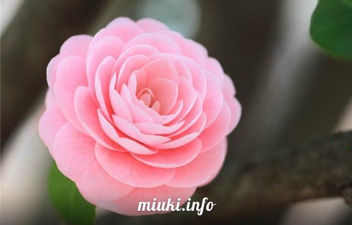Цветы в Японии