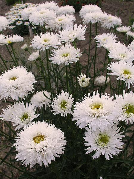 Многолетние цветы, переносящие жару-Хризантема