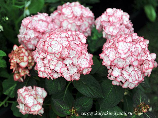 Hydrangea macrophylla Miss Saori (1).JPG