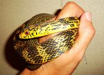 Elaphe carinata (King Ratsnake)