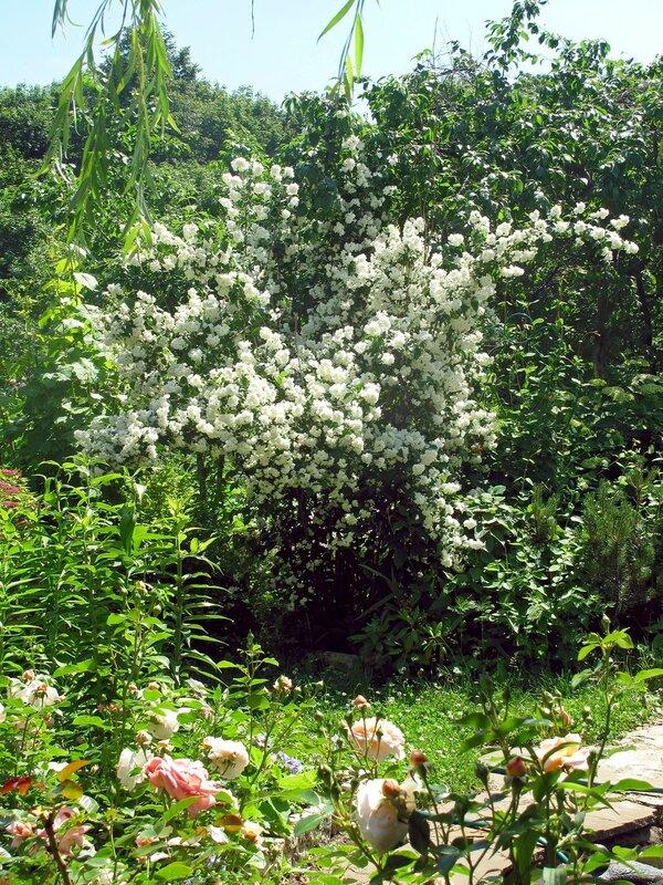 Лето в райском садике в Острове, жасмин