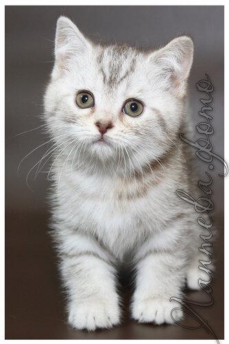 шоколадная серебристая пятнистая британская короткошерстная британская кошка