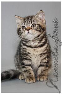 черная мраморная британская короткошерстная кошка