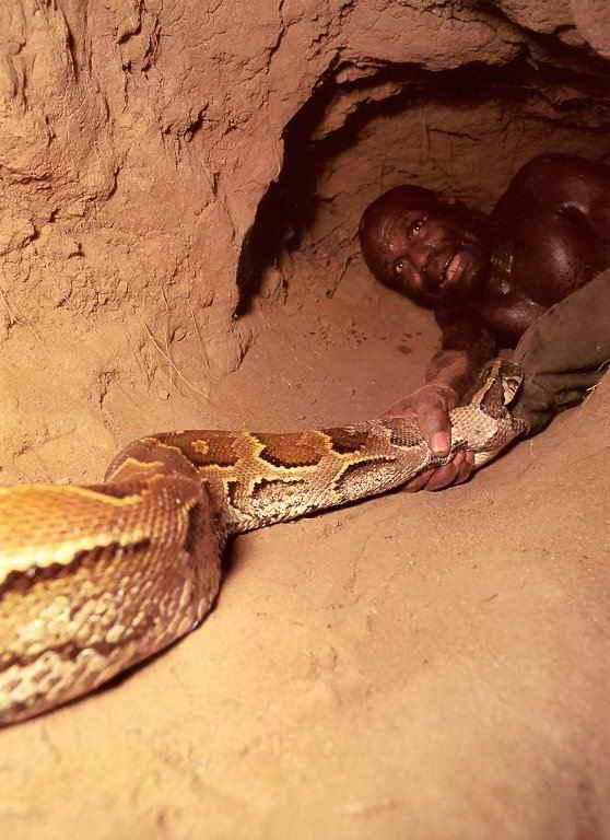 Суровые африканские мужчины ловят иероглифового питона