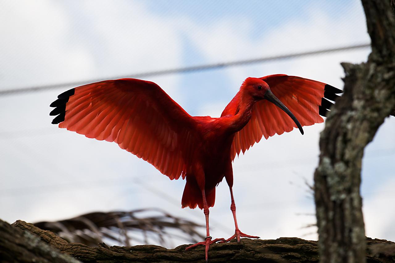 Красный ибис