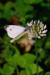 Бабочка-капустница-2.jpg