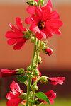 Цветок Мальва.jpg