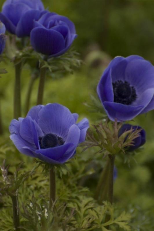 Многолетние цветы, переносящие жару-Анемон