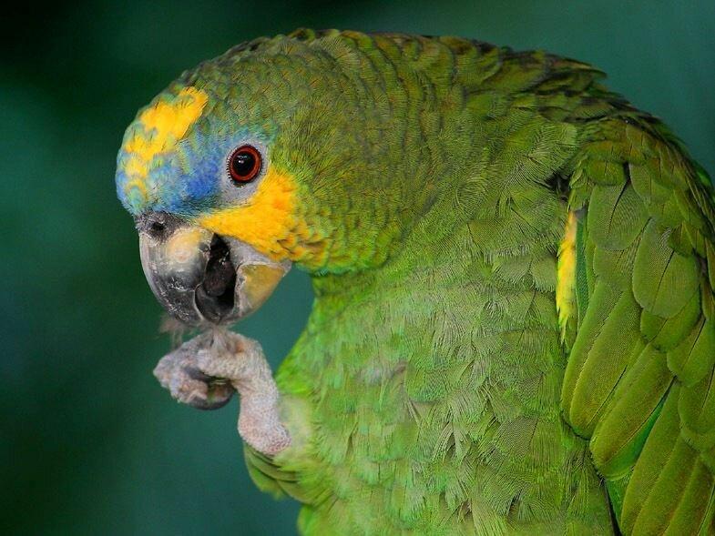фото венесуэльского попугая замечали, что димой
