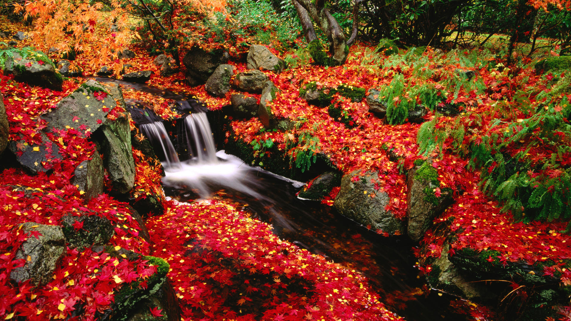 Japanese maple and creek. Beacon Hill Park. Victoria. British Columbia. Canada
