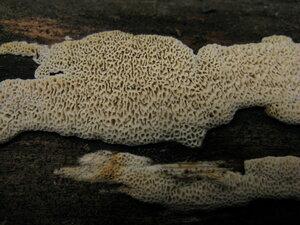 Радулодон сухой (Radulodon aneirinus)