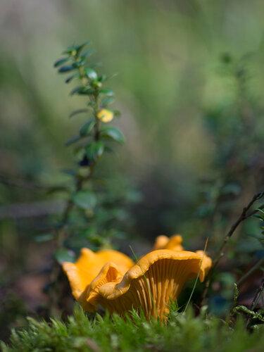 Cantharellus cibarius Автор фото: Владимир Брюхов