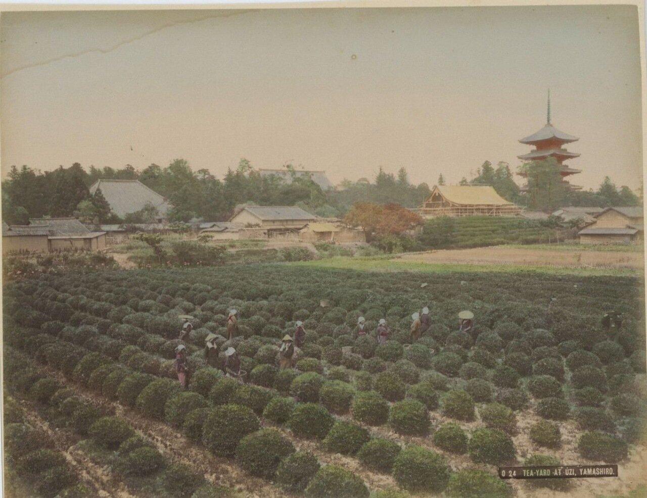 Узи (провинция Ямасиро) Чайная плантация