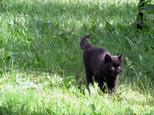 кот черный IMG_2547.jpg