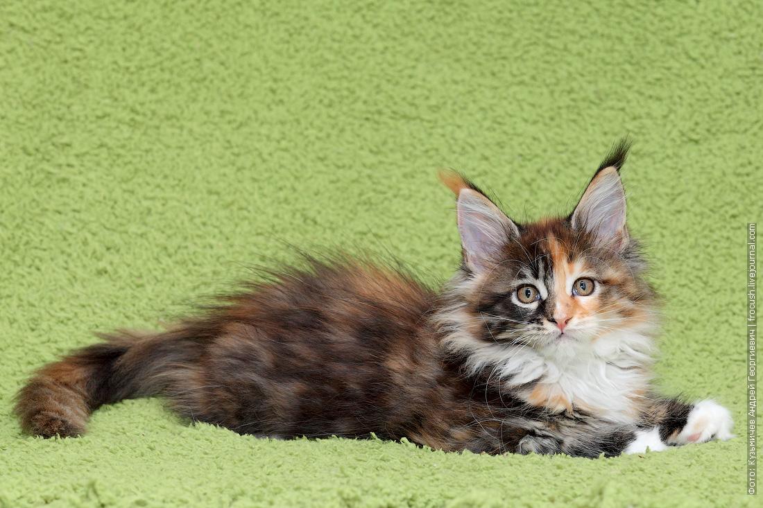 котята мейнкун из питомника