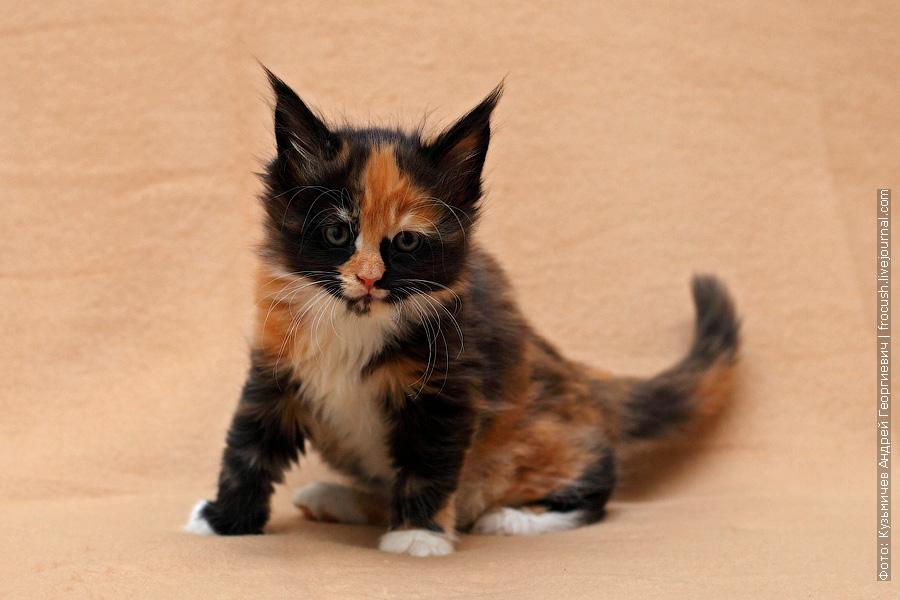 фотографии котят мейн-кун