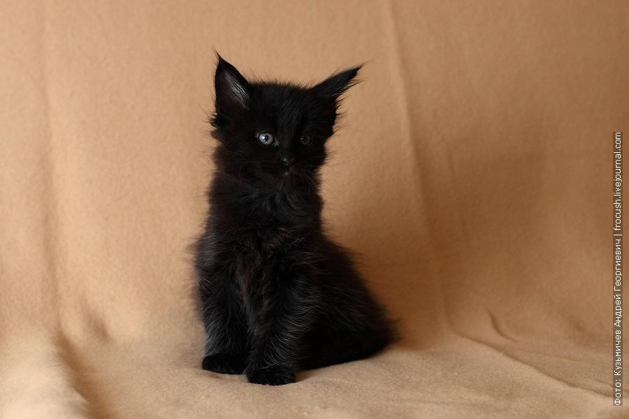 фотографии котят мейн кун