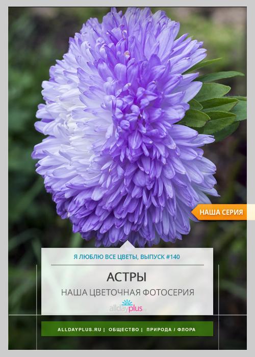 Я люблю все цветы, выпуск 140 | Астра значит «звезда».