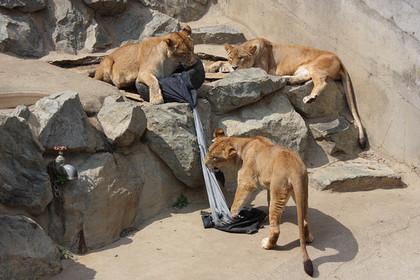 Тигры и львы японского зоопарка стали модельерами
